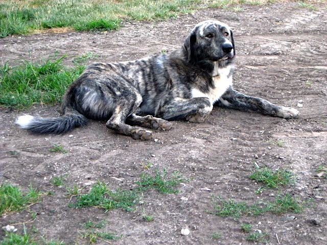 Anatolian guardian dog, Rupert, contemplates life