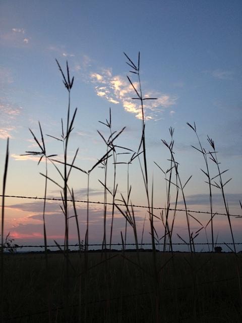 """cow candy"" - Big Bluestem - (native tall grass prairie)"