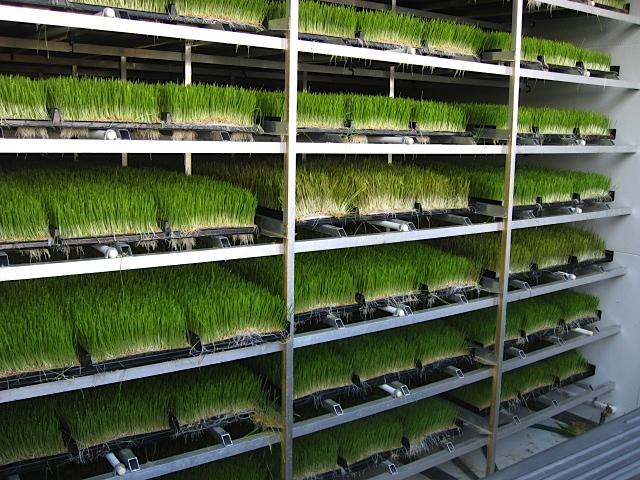 Hydroponic Wheatgrass chamber